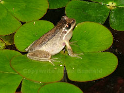 Southern Brown Tree Frog on Smooth Nardoo (Marsilea mutica)
